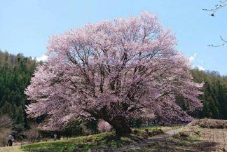 片品村の天王桜